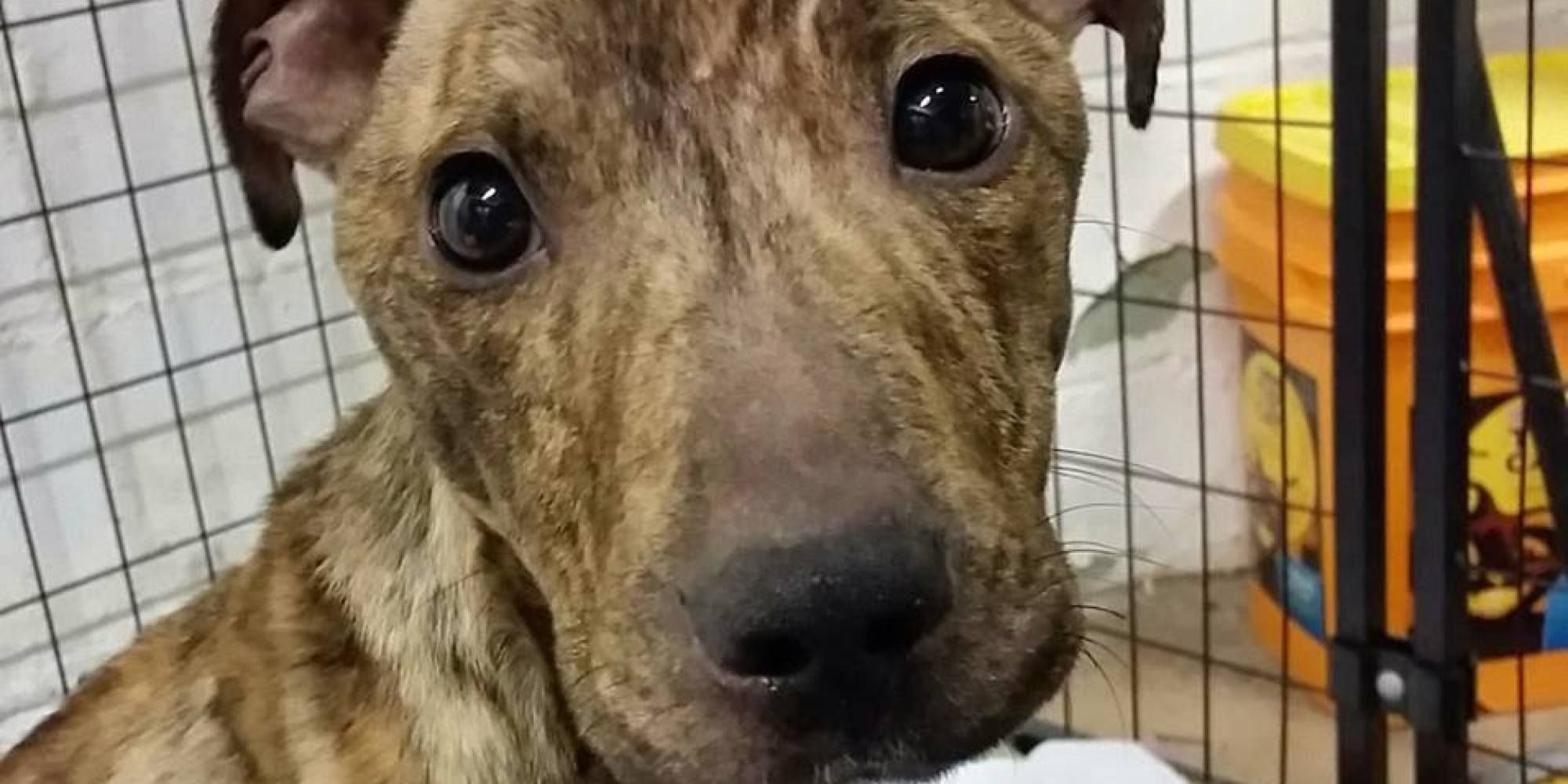 An emaciated pit bull puppy, caged and left for dead in a damp Pennsylvania basement, is alive against all odds after a non-profit animal welfare organization came to his rescue. - http://www.huffingtonpost.com/2015/04/22/anna-shelter-puppy_n_7120584.html