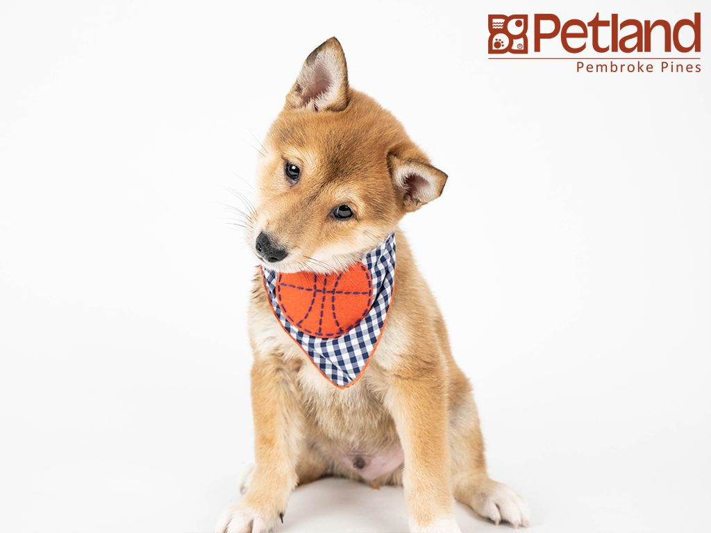 Petland Florida has Shiba Inu puppies for sale! Interested