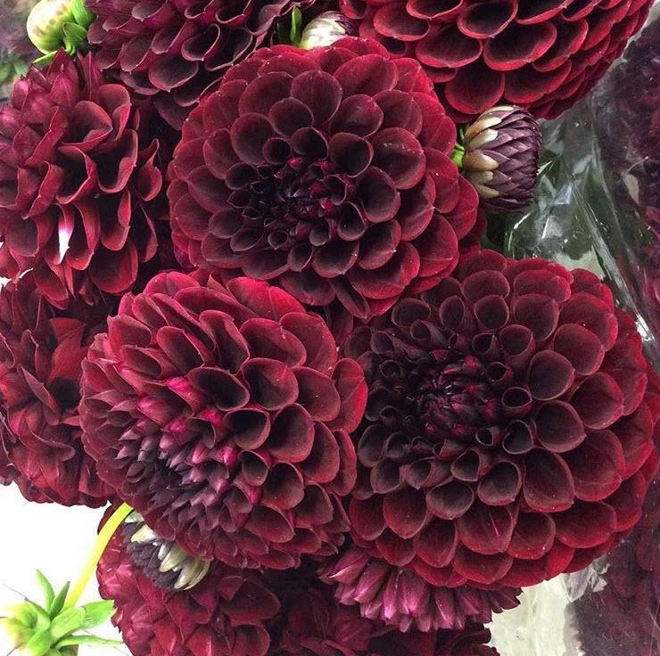 Dahlia Burgundy Diy Wedding Flowers Wedding Flowers Wedding Flower Packages