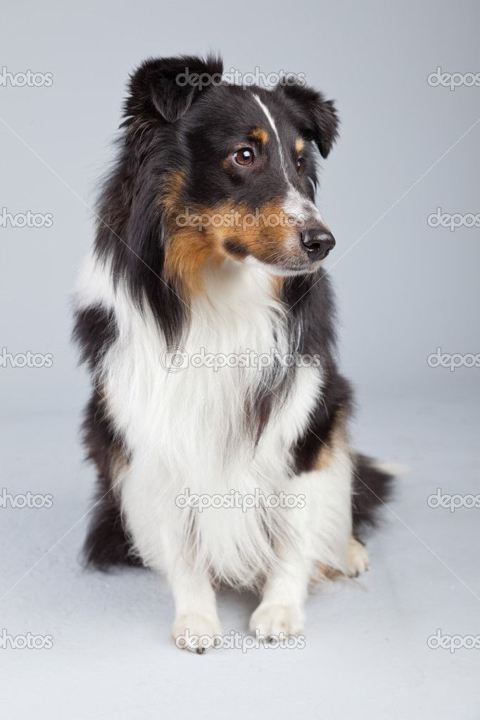 Border Collie Dog Black Brown And White Isolated Against Grey Ba