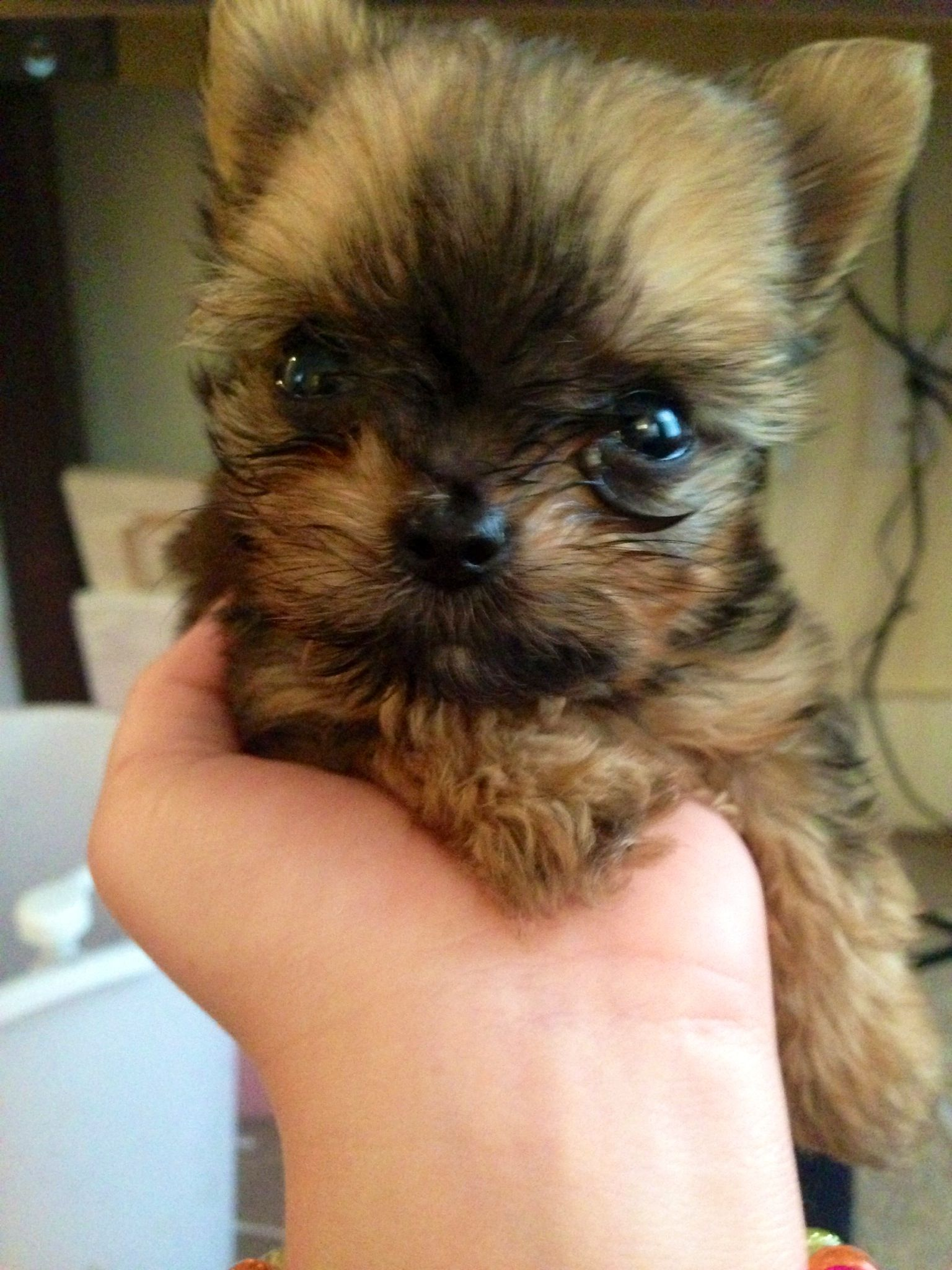 husky yorkie baby lilly yorkie chihuahua puppy puppies cute 9452