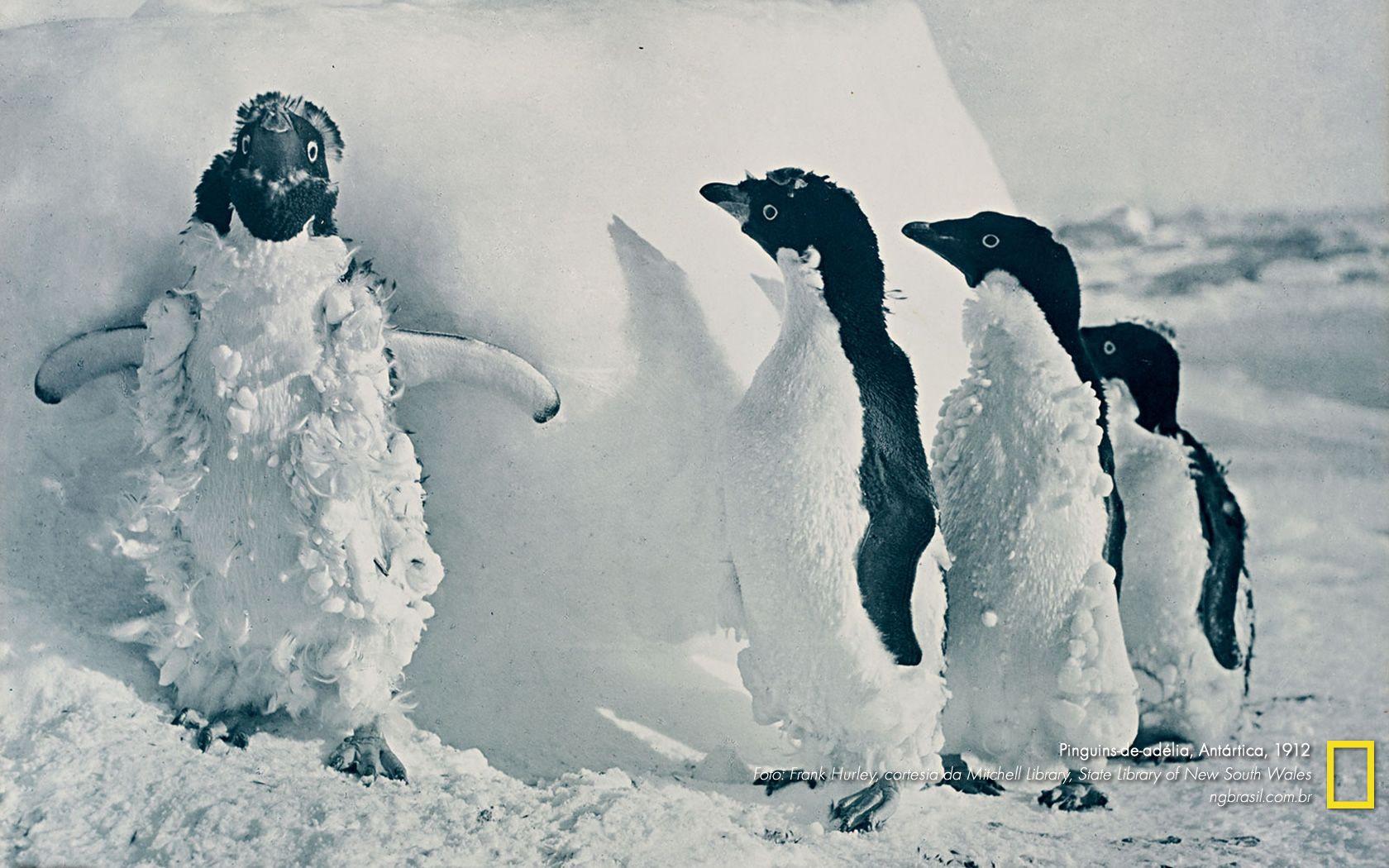 Pinguins-de-adélia registrados em 1912, na Antártica