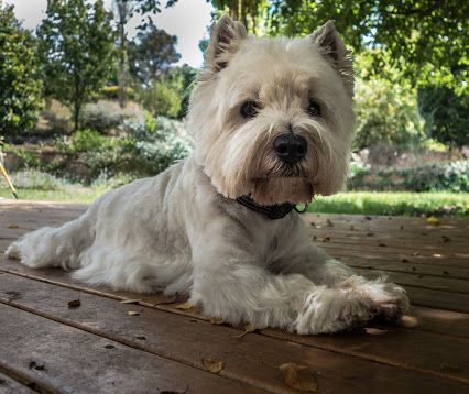Billy The Westie Collections Google Westies West Highland