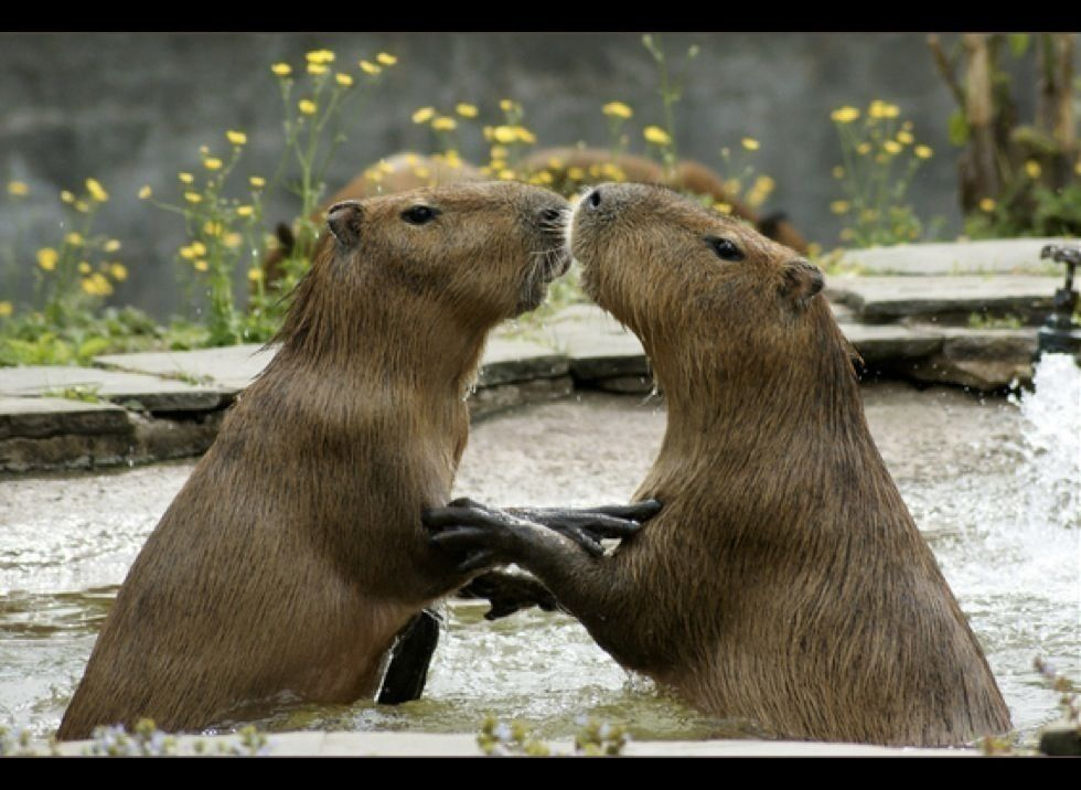 The capybara is a herbivorous animal and therefore only