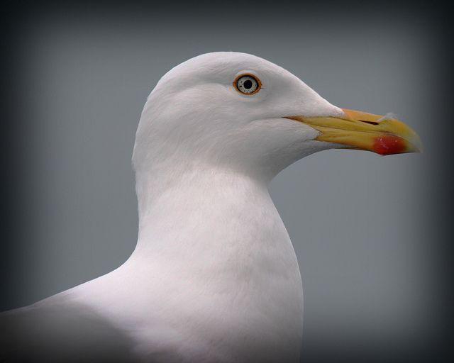 gull portrait | Flickr - Photo Sharing!