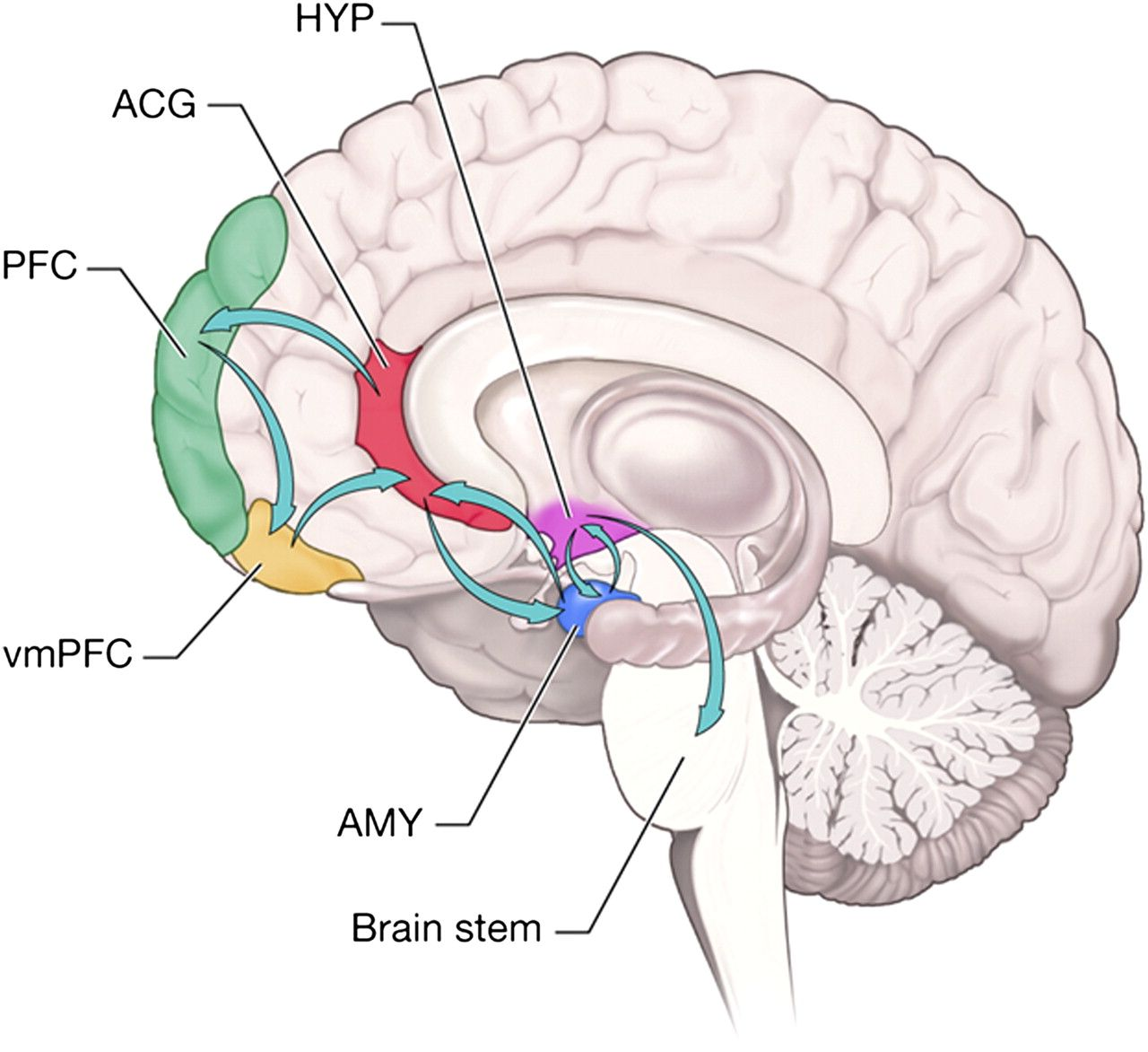 inhibiting fear and aggression ventromedial pre frontal cortex pre frontal cortex anterior. Black Bedroom Furniture Sets. Home Design Ideas