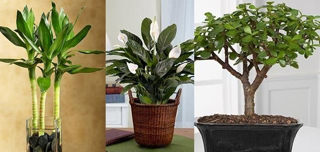 Feng shui indoor plants that bring good luck feng shui for Good plants to have indoors
