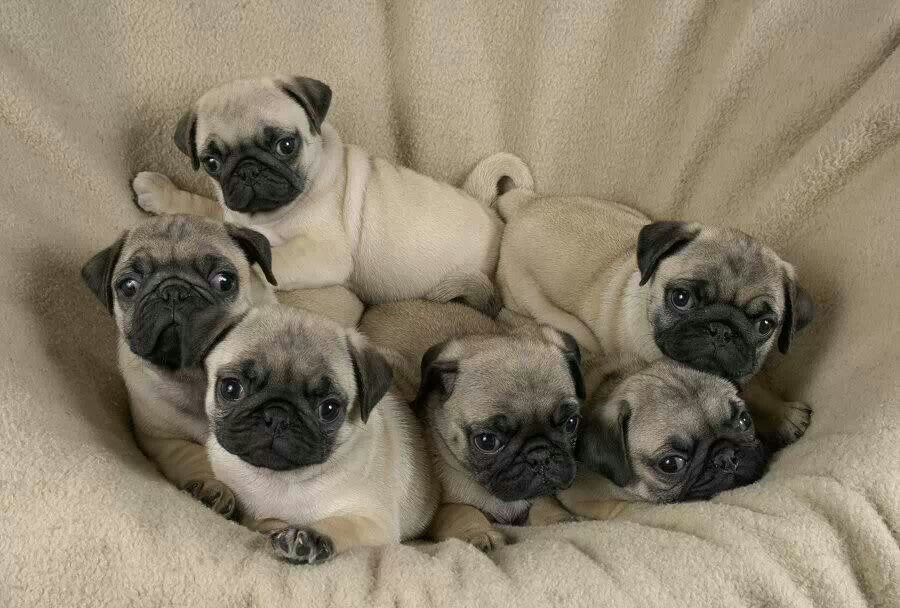 Babies With Images Baby Pugs Cute Pugs Cute Pug Puppies