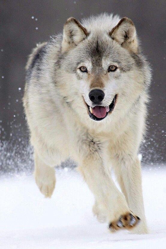 Who S A Happy Wolf Wolf Running Animals Beautiful Animals Wild