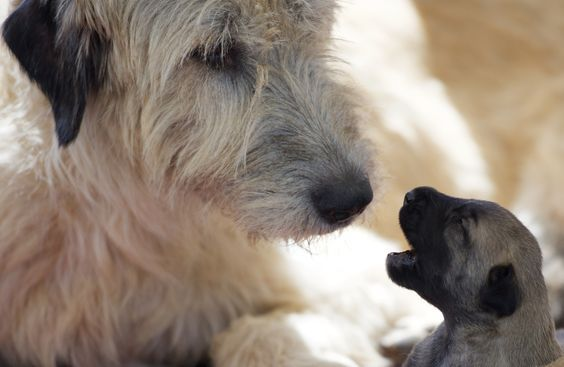 Whelping And Rearing Of All Our Bonaforte Irish Wolfhound Puppies