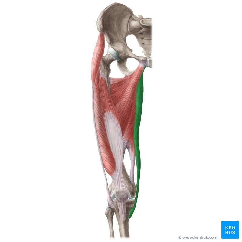 Gracilis muscle aka Musculus gracilis in the latin terminology and ...