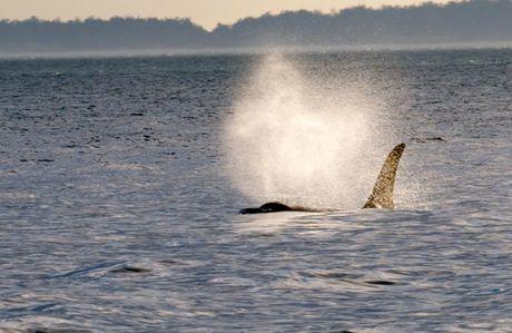 Killer Whale ~ photo by Jim Maya