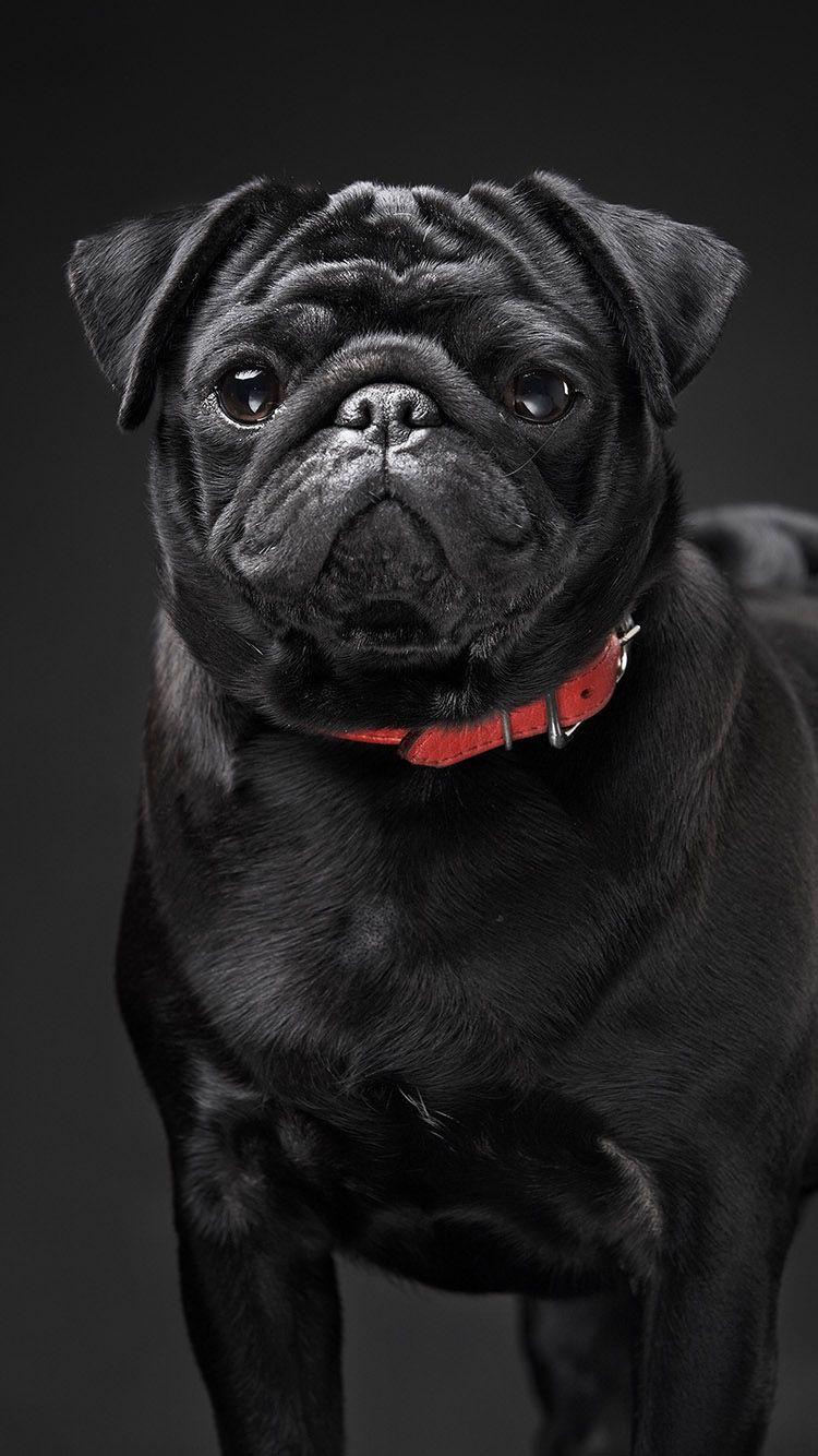 Tap And Get Free App Stylish Black Dog On Black Background