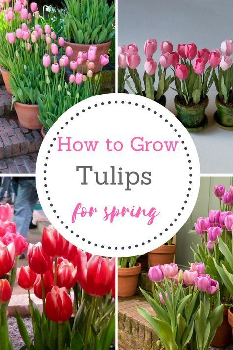 Every Gardener Needs To Grow Tulips Come Spring! Gardening, Growing Tulips,  How To Grow Tulips, Spring Gardening