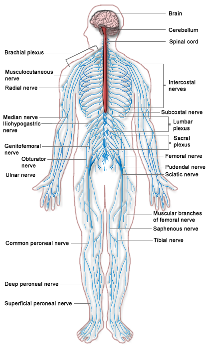 Human Physiology/The Nervous System - Wikibooks, open books for an ...