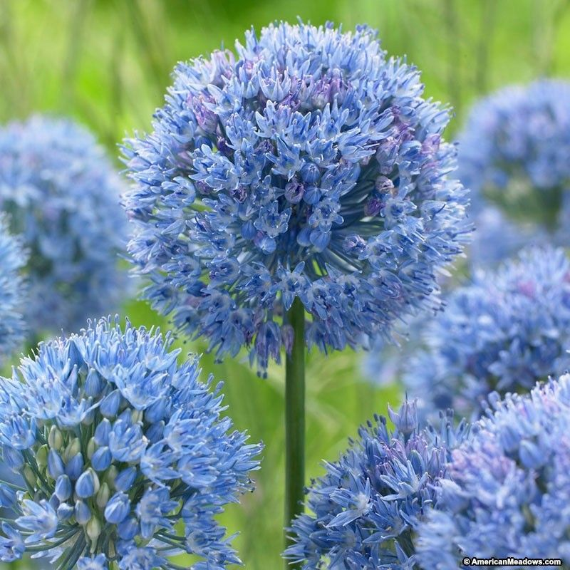 Blue Allium Caeruleum Allium Flowers Bulb Flowers Plants