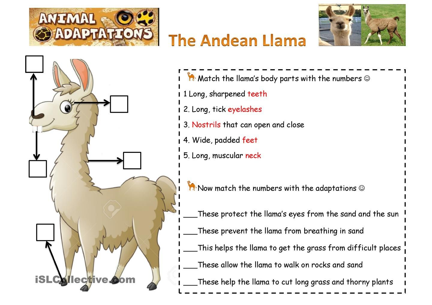 Animals Adapatations The Llamas With Images