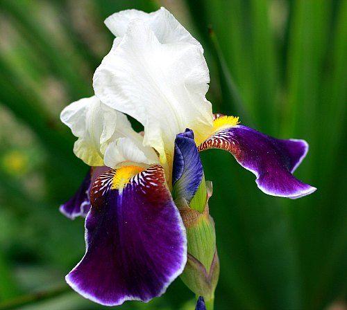 Bearded Iris With White Standard Petals And Purple Falls Petals Iris Identification Iris Flowers Iris Identification White Iris