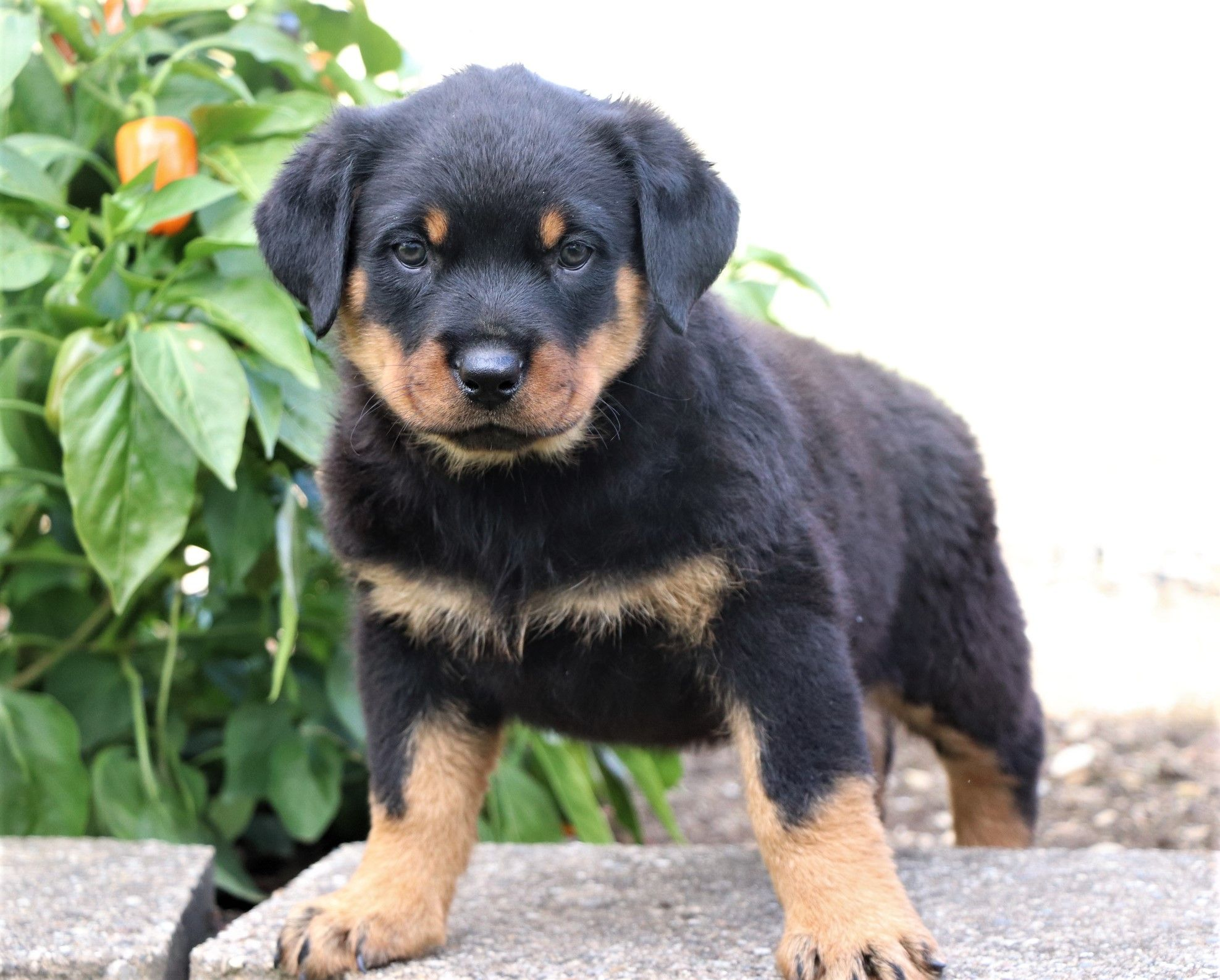Beautiful Obedient Intelligent Are Only A Few Words To Describe The Rottweiler The Rott Rottweiler Puppies Rottweiler Rottweiler Puppies For Sale
