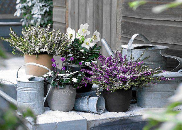 Zdjecie Nr 2 W Galerii Sposob Na Piekny Balkon Zima Beautiful Flowers Lavender Cottage Metal Watering Can