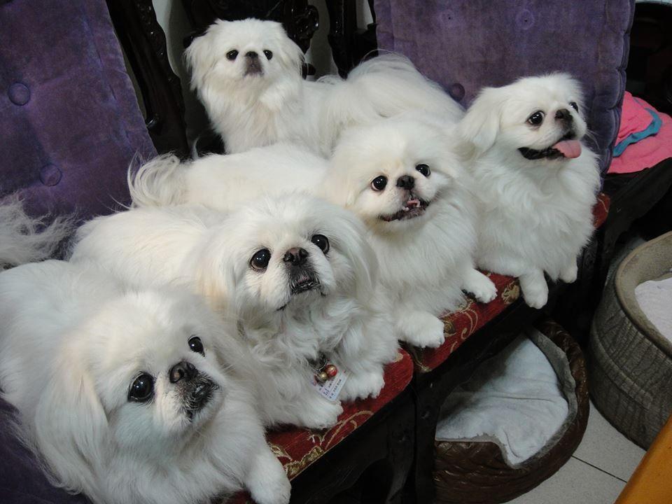 Pin By Wendy O On Puppies Pekingese Pekingese Dogs Pekingese