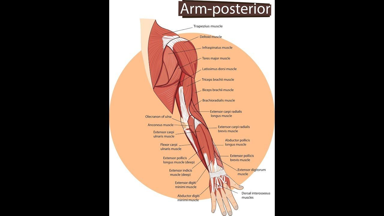Posterior Compartment of The Forearm (Muscle Anatomy and Function ...
