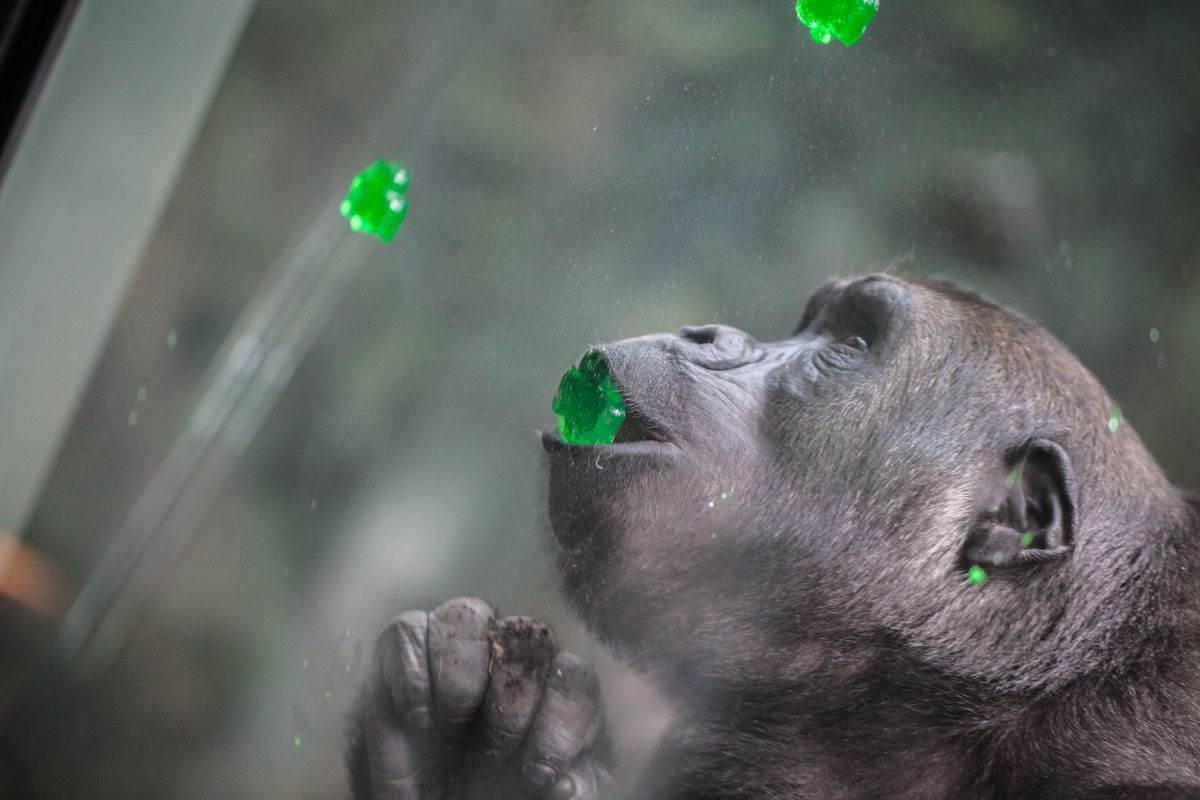 Western Lowland Gorilla St. Patrick's Day (With images