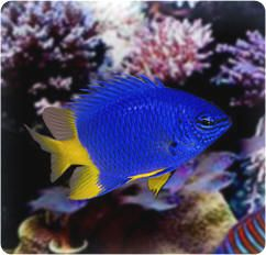 Saltwater Fish Caution Do Not Buy These Fish For You Tank Not These Or Any Other Little Damsel Fish I Know It S Te Sea Fish Salt Water Fish Marine Fish