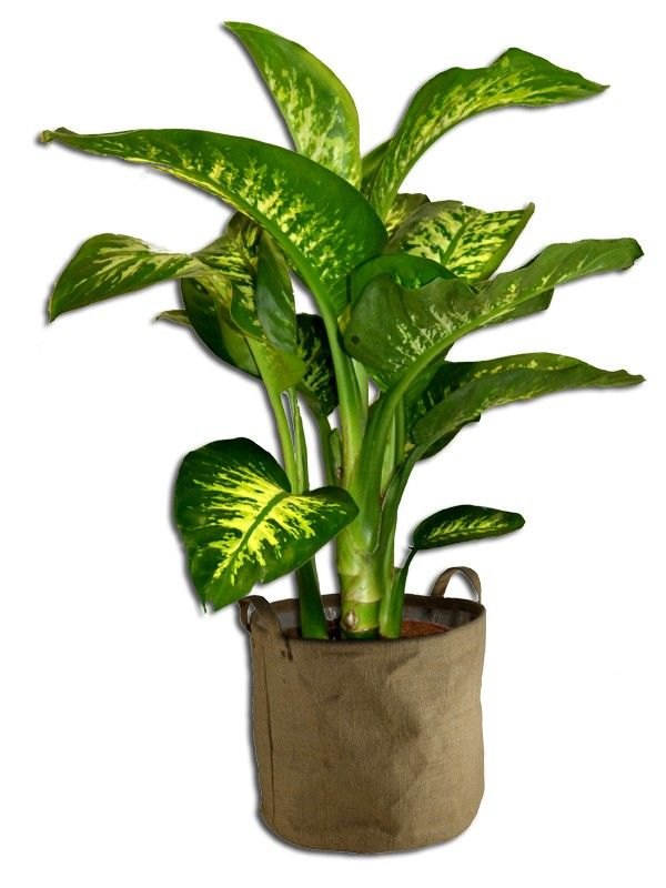 Plante d 39 interieur dieffenbachia deco terrasse for Plante verte d interieur photo