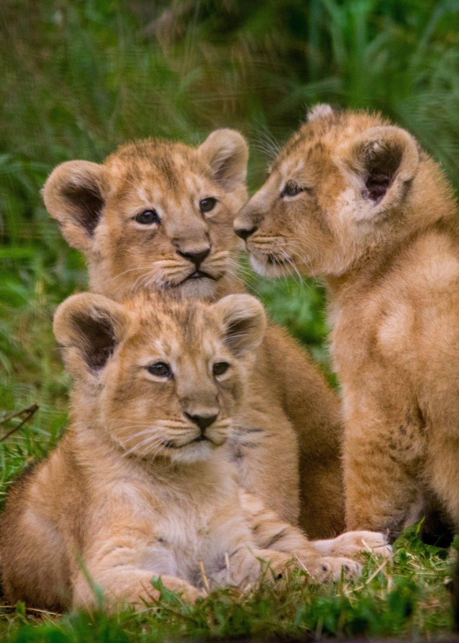 *Asiatic Lion Cubs