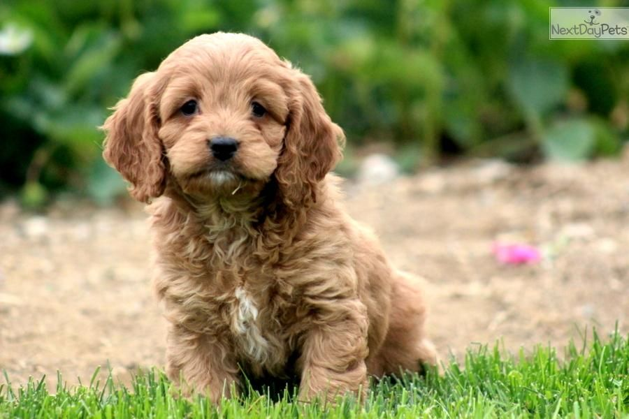 Gunther Cockapoo Male Cockapoo Puppy For Sale Near Lancaster