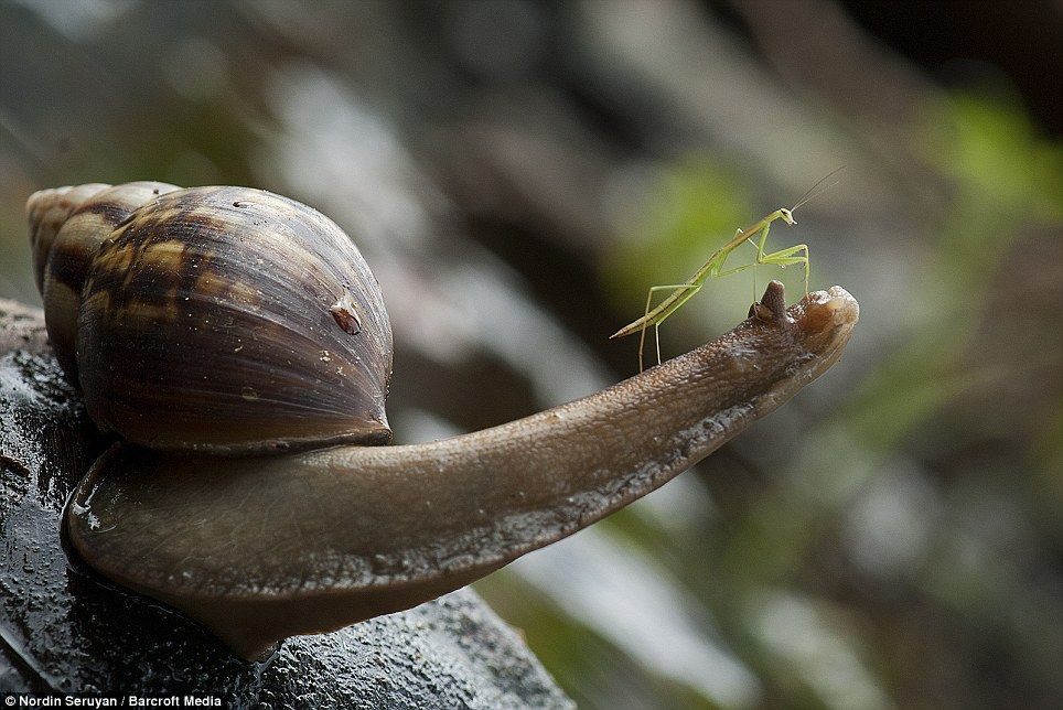 He Ain T Heavy Tiny Praying Mantis Hitches A Lift To Safety Perched On A Snail After Falling Off A Leaf Praying Mantis Snail Animals