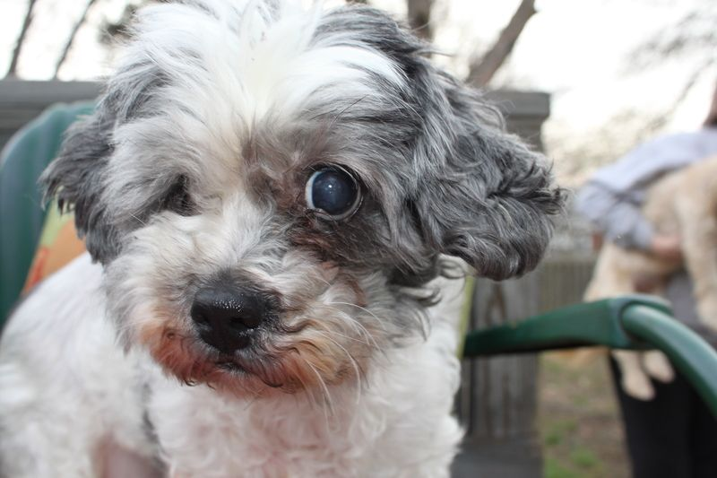Adopt Cookie Adopted On Poodle Mix Dogs Shih Tzu Poodle Mix Shih Tzu