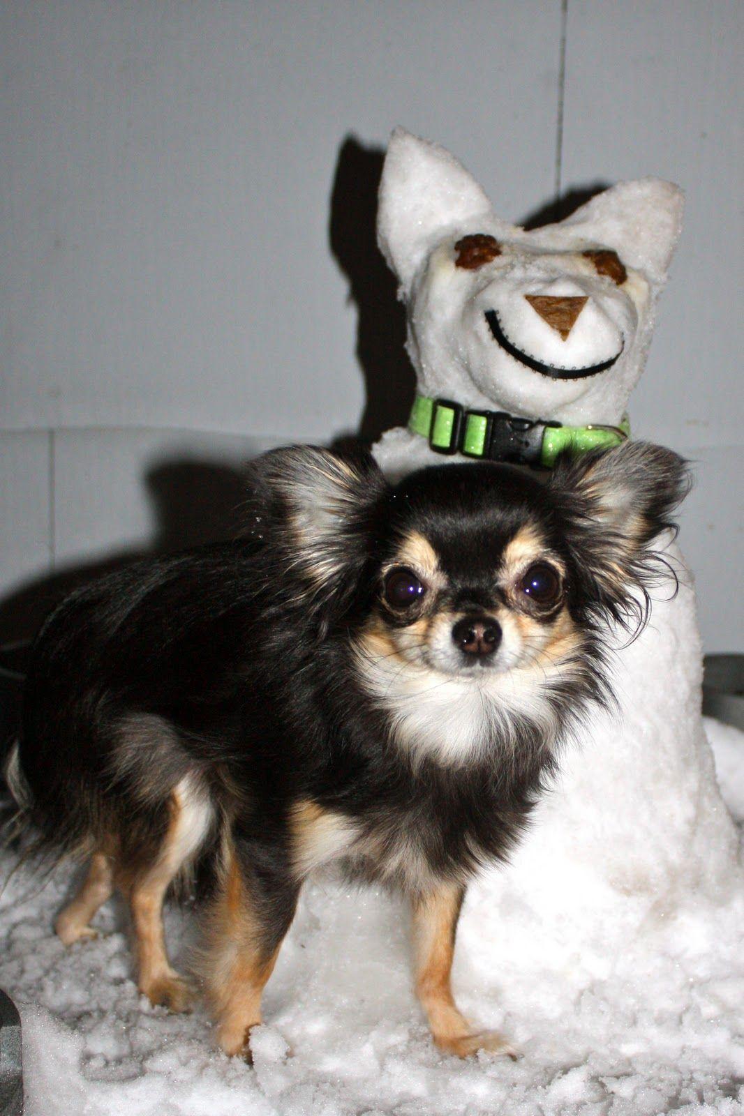Me And My Snow Chihuahua Chihuahua Love Chihuahua