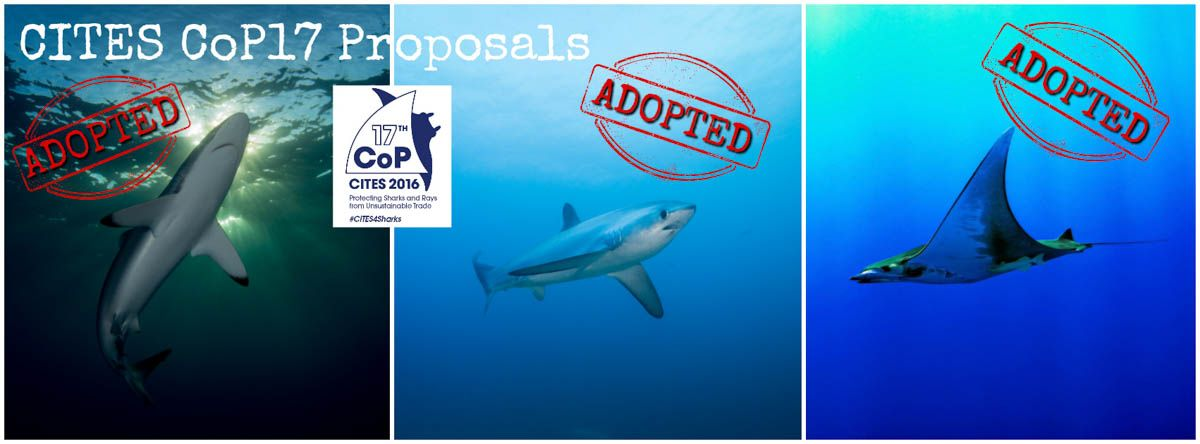 13 Species Listed in Plenary, NGOs look to implementation, remaining threats.  Conservationists are delighted that CITES* Parties have officially listed devil rays, thresher sharks, and the silky shark under CITES Appendix II. The listing proposals were supported by more than the two-thirds majority required for adoption in Committee on Monday, and finalized today in Plenary.