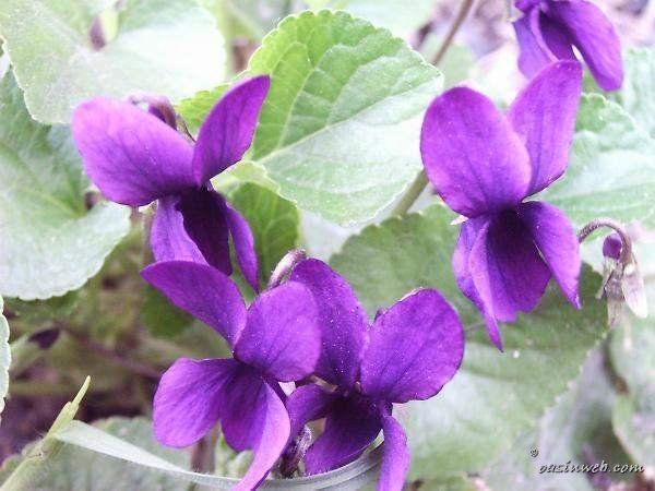 Violette primaverili