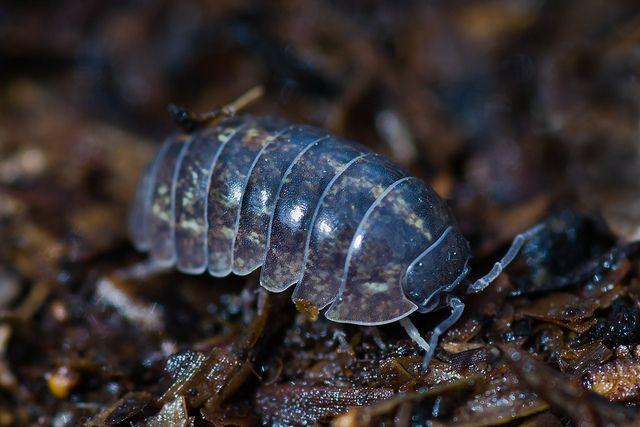 Artrópoda-Mandibulata-Pancrustácea Altocrustácea-Vericrustácea-Malacrustácea: Isópodos.Pill Bug - Armadillium vulgare by Cletus Lee, via Flickr