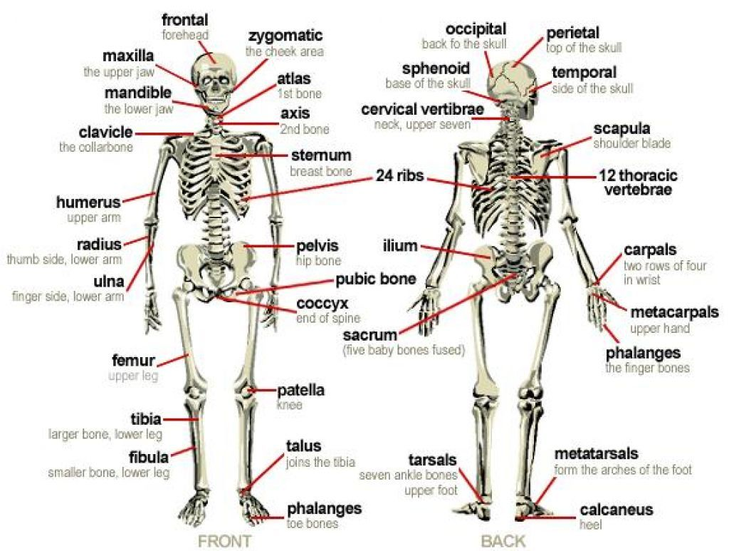 Bones of the human body labeled human bones labeled human body bones of the human body labeled human bones labeled human body diagram ccuart Image collections