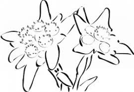 Risultati Immagini Per Stella Alpina Disegno Immagini Disegni