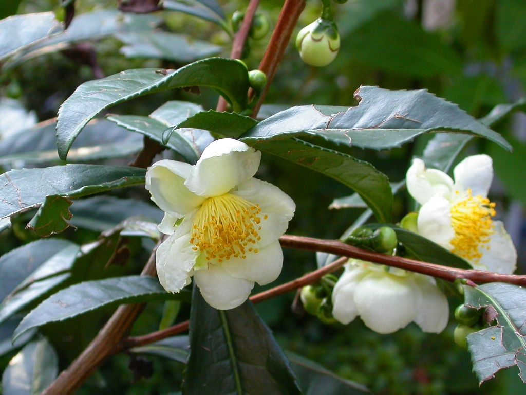 Camellia Sinensis Tea Bush Evergreen Shrub With Fragrant Blossom You Could Try Making Your Own Cuppa With This I Plant Seedlings Plants Evergreen Plants