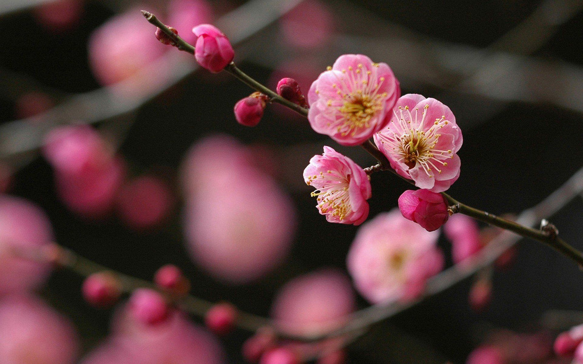 Japanese Cherry Blossom Flower Wallpapers Android For Desktop Wallpaper Background On Flowers Category Similar With Branch Cherry Blossom Cherry Blossom Flower