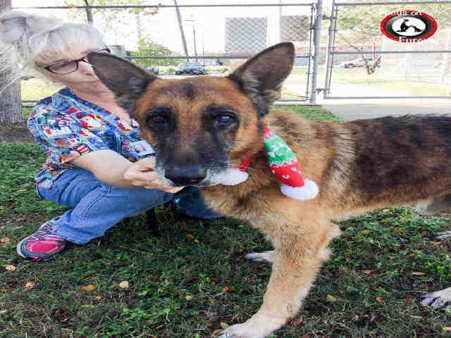 German Shepherd Dog Dog For Adoption In Corpus Christi Tx Adn