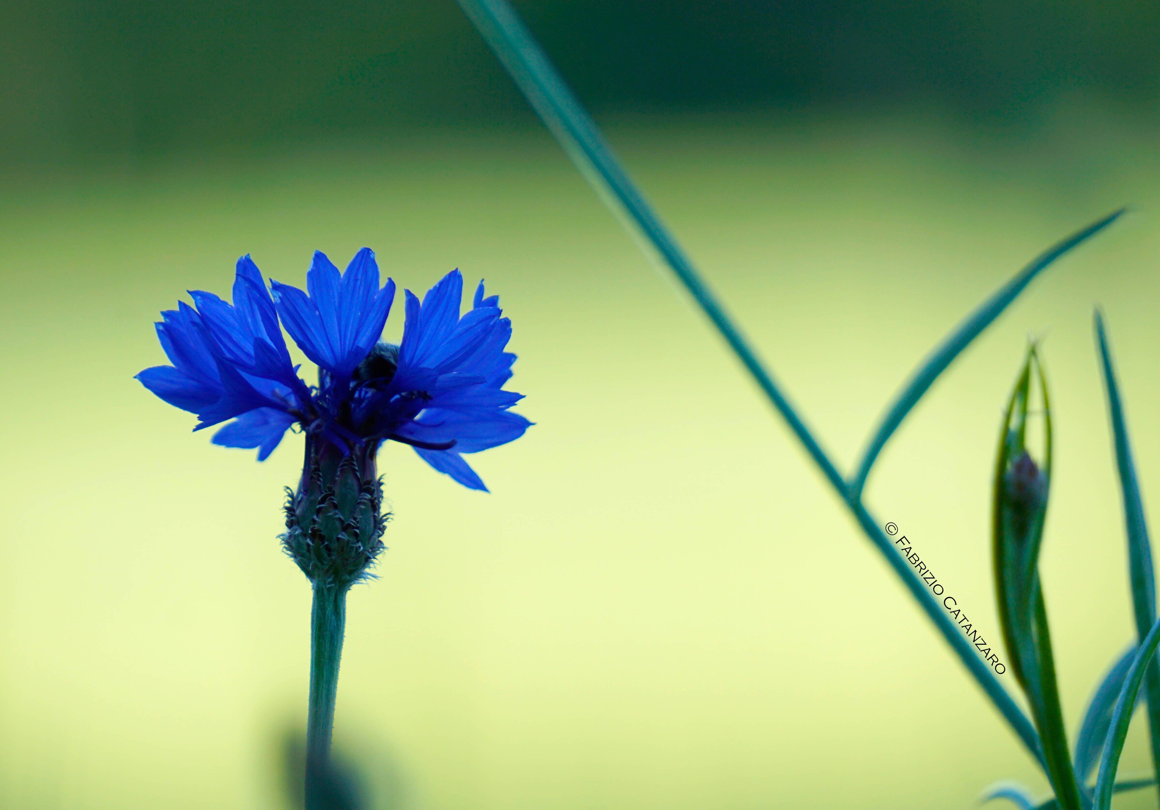 Fiordaliso | Cornflower