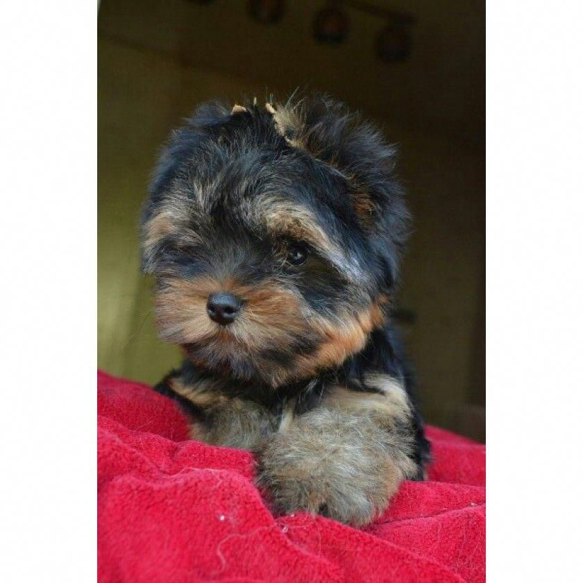 Determine Even More Details On Yorkshire Terriers Visit Our