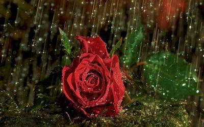 Red rose in the rain flower desktop wallpaper download roses red red rose in the rain flower desktop wallpaper download thecheapjerseys Images