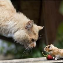 Cat: can I have that strawberry?  Mouse: NO!!!!!