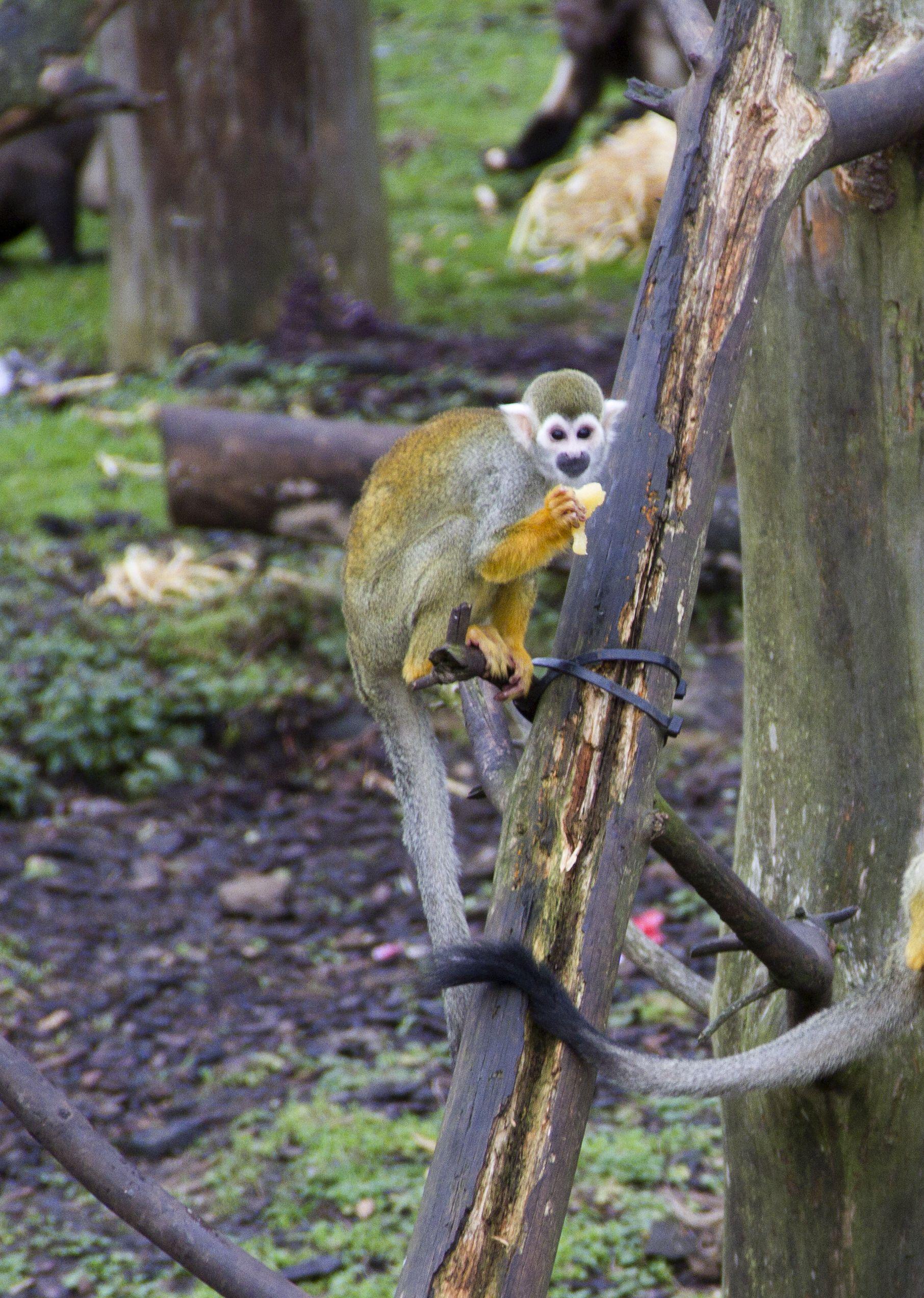 Common Squirrel Monkey Squirrel Monkey Pet Birds Zoo Animals