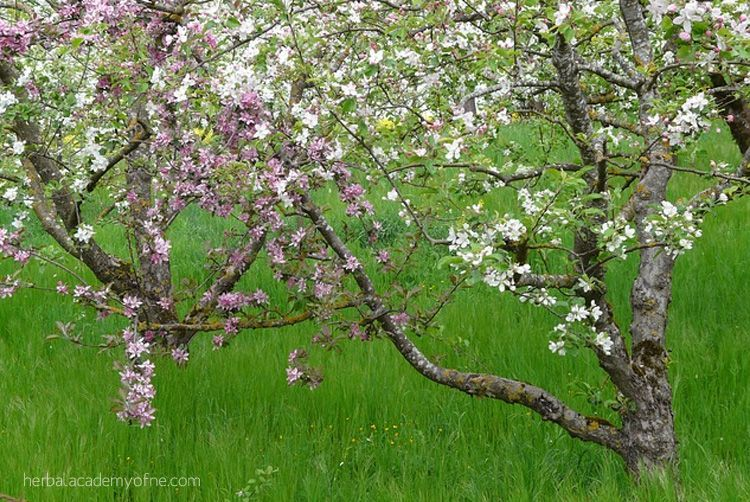 Fruit Trees in the Fall Planting Fruit Trees in the Fall | Herbal Academy of New EnglandPlanting Fruit Trees in the Fall | Herbal Academy of New England