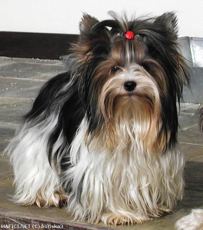 Biewer Yorkshire Terrier A La Pom Pon Yorkshire Terrier