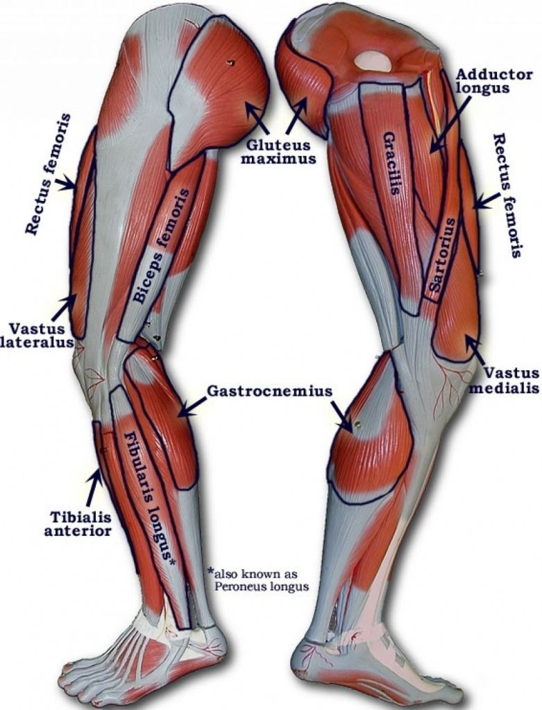 small resolution of human leg muscles diagram human leg muscles diagram muscle diagram female human body lovely anatomy